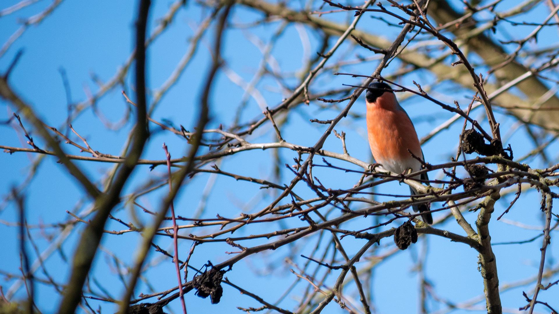 Gimpel - Anetkas Vogelwelt